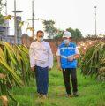 Electrifying Agriculture PLN Bikin Omzet Petani Buah Naga Naik 3 Kali Lipat